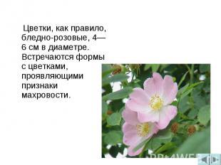 Цветки, как правило, бледно-розовые, 4—6 см в диаметре. Встречаются формы с цвет