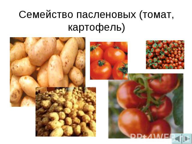 Семейство пасленовых (томат, картофель)
