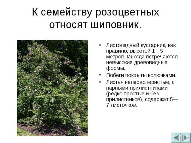 К семейству розоцветных относят шиповник.Листопадный кустарник, как правило, высотой 1—5 метров. Иногда встречаются невысокие древовидные формы.Побеги покрыты колючками.Листья непарноперистые, с парными прилистниками (редко простые и без прилистнико…