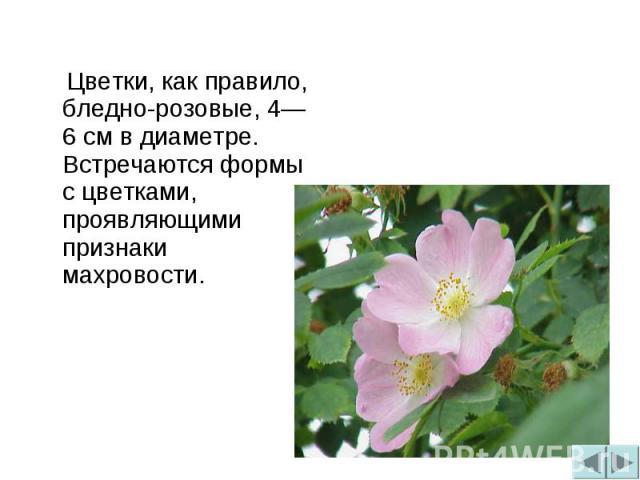 Цветки, как правило, бледно-розовые, 4—6 см в диаметре. Встречаются формы с цветками, проявляющими признаки махровости.