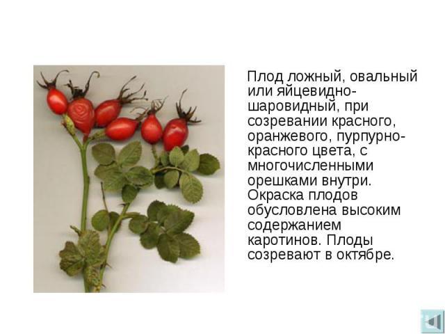 Плод ложный, овальный или яйцевидно-шаровидный, при созревании красного, оранжевого, пурпурно-красного цвета, с многочисленными орешками внутри. Окраска плодов обусловлена высоким содержанием каротинов. Плоды созревают в октябре.