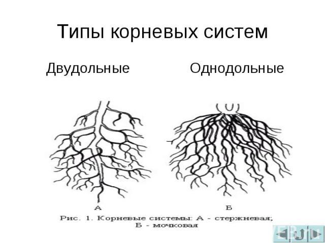 Типы корневых системДвудольныеОднодольные