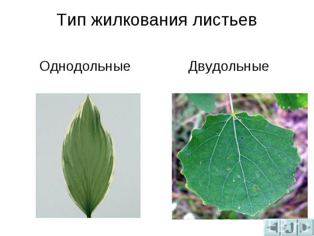 Тип жилкования листьевОднодольныеДвудольные