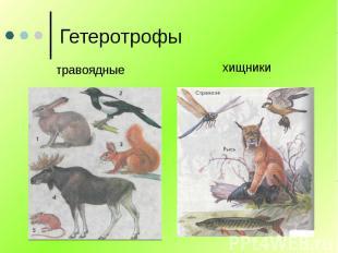 Гетеротрофы травоядные хищники
