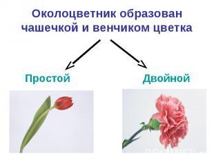 Околоцветник образован чашечкой и венчиком цветкаПростойДвойной