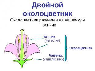 Двойной околоцветникОколоцветник разделен на чашечку и венчик