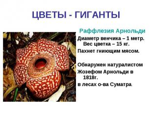 ЦВЕТЫ - ГИГАНТЫРаффлезия АрнольдиДиаметр венчика – 1 метр. Вес цветка – 15 кг.Па