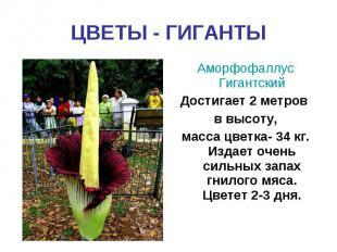 ЦВЕТЫ - ГИГАНТЫАморфофаллус ГигантскийДостигает 2 метров в высоту,масса цветка-