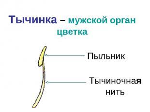 Тычинка – мужской орган цветкаПыльникТычиночная нить