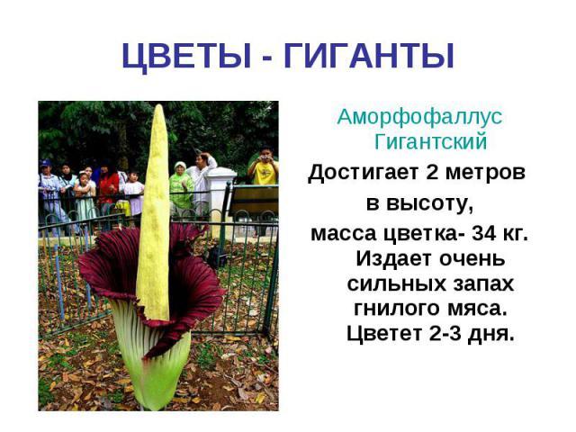 ЦВЕТЫ - ГИГАНТЫАморфофаллус ГигантскийДостигает 2 метров в высоту,масса цветка- 34 кг. Издает очень сильных запах гнилого мяса. Цветет 2-3 дня.