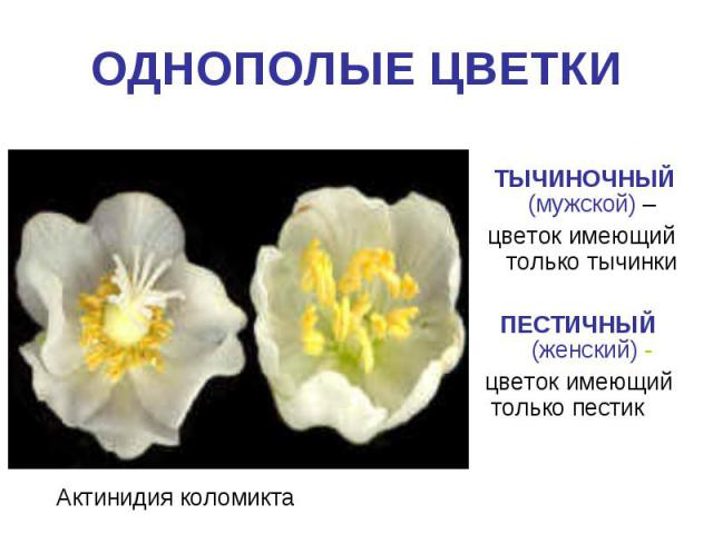 ОДНОПОЛЫЕ ЦВЕТКИ ТЫЧИНОЧНЫЙ (мужской) – цветок имеющий только тычинкиПЕСТИЧНЫЙ (женский) - цветок имеющий только пестик Актинидия коломикта