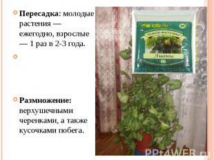Пересадка: молодые растения — ежегодно, взрослые — 1 раз в 2-3 года.Размножение