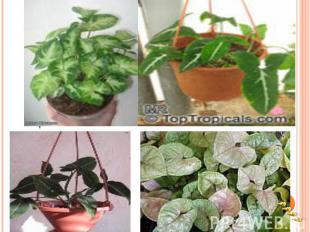 Выращивают сингониумы ради их красивых листьев, которые у многих видов формой на