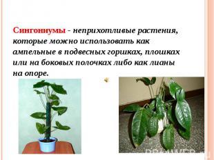 Сингониумы - неприхотливые растения, которые можно использовать как ампельные в