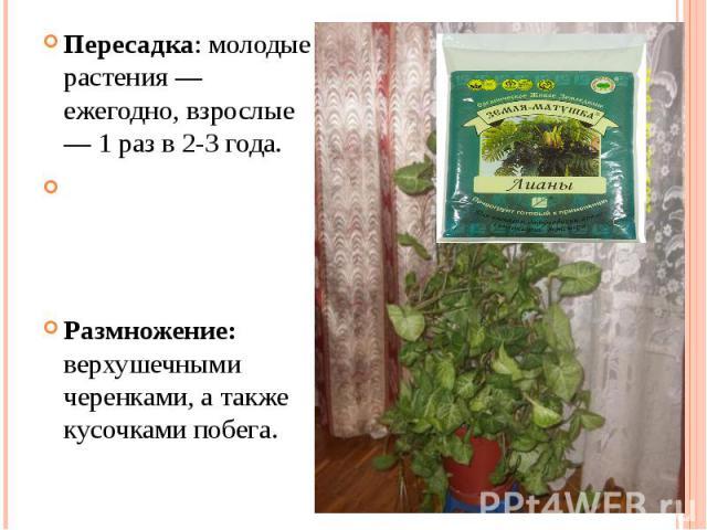 Пересадка: молодые растения — ежегодно, взрослые — 1 раз в 2-3 года.Размножение: верхушечными черенками, а также кусочками побега.