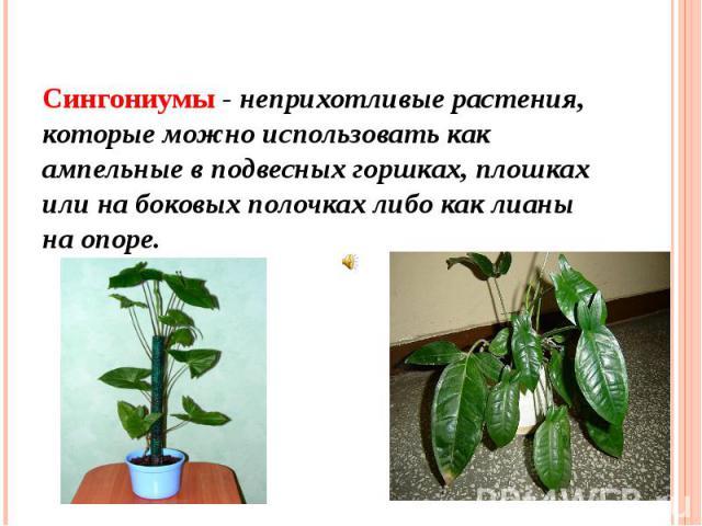Сингониумы - неприхотливые растения, которые можно использовать как ампельные в подвесных горшках, плошках или на боковых полочках либо как лианы на опоре.