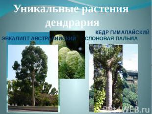 Уникальные растения дендрарияЭВКАЛИПТ АВСТРАЛИЙСКИЙКЕДР ГИМАЛАЙСКИЙ