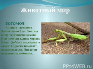 Животный мирБОГОМОЛХищное насекомое. Длина около 5 см. Хватает пищу передними но