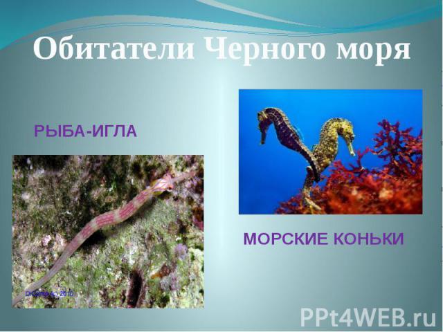 Обитатели Черного моряРЫБА-ИГЛАМОРСКИЕ КОНЬКИ