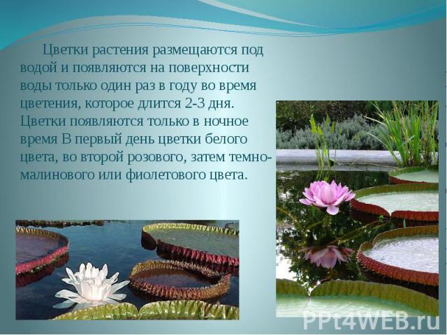Цветки растения размещаются под водой и появляются на поверхности воды только один раз в году во время цветения, которое длится 2-3 дня. Цветки появляются только в ночное время В первый день цветки белого цвета, во второй розового, затем темно-малин…