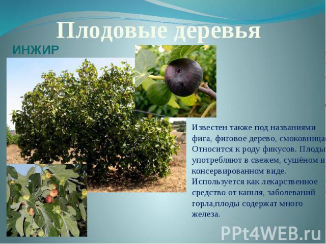 Плодовые деревьяИНЖИРИзвестен также под названиями фига, фиговое дерево, смоковница. Относится к роду фикусов. Плоды употребляют в свежем, сушёном и консервированном виде. Используется как лекарственное средство от кашля, заболеваний горла,плоды сод…