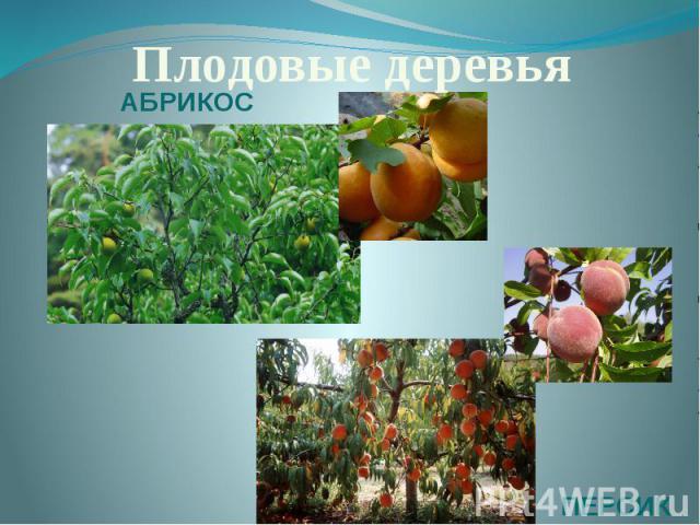 Плодовые деревьяАБРИКОСПЕРСИК