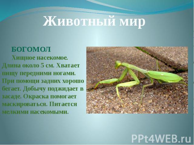 Животный мирБОГОМОЛХищное насекомое. Длина около 5 см. Хватает пищу передними ногами. При помощи задних хорошо бегает. Добычу поджидает в засаде. Окраска помогает маскироваться. Питается мелкими насекомыми.