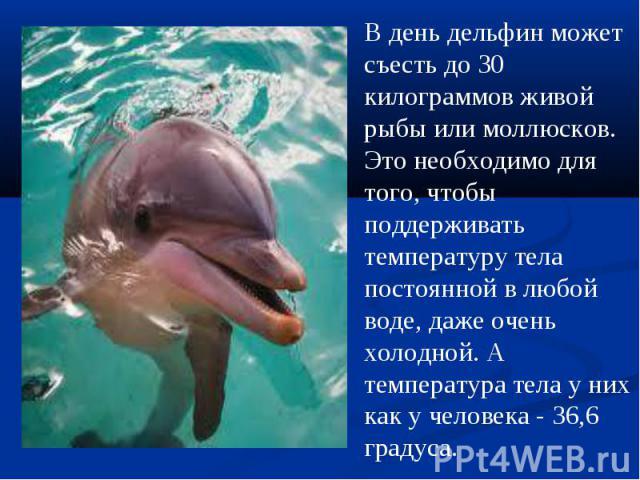 В день дельфин может съесть до 30 килограммов живой рыбы или моллюсков. Это необходимо для того, чтобы поддерживать температуру тела постоянной в любой воде, даже очень холодной. А температура тела у них как у человека - 36,6 градуса.