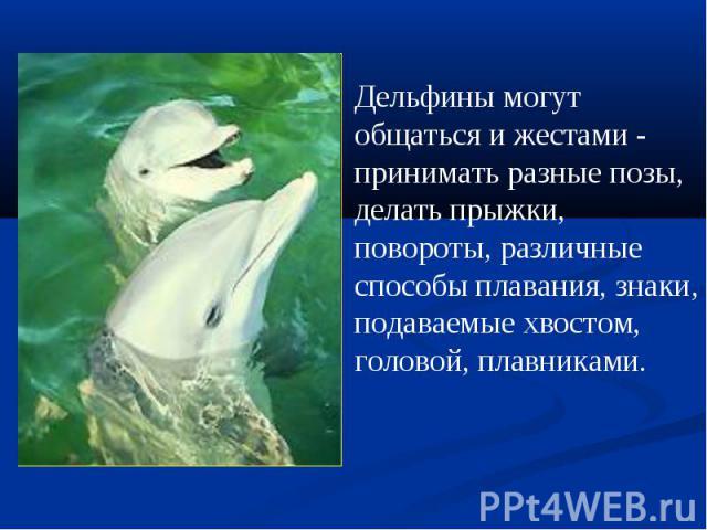 Дельфины могут общаться и жестами - принимать разные позы, делать прыжки, повороты, различные способы плавания, знаки, подаваемые хвостом, головой, плавниками.