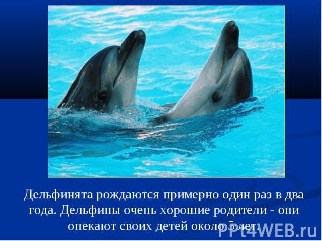 Дельфинята рождаются примерно один раз в два года. Дельфины очень хорошие родители - они опекают своих детей около 5 лет.