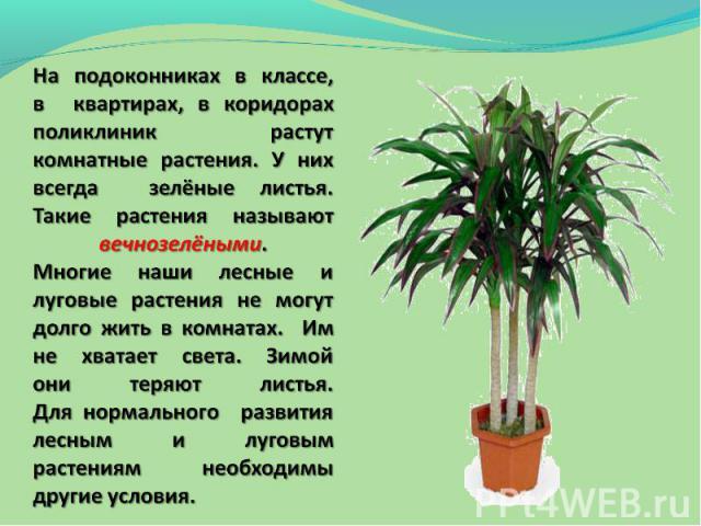 На подоконниках в классе, в квартирах, в коридорах поликлиник растут комнатные растения. У них всегда зелёные листья. Такие растения называют вечнозелёными.Многие наши лесные и луговые растения не могут долго жить в комнатах. Им не хватает света. Зи…