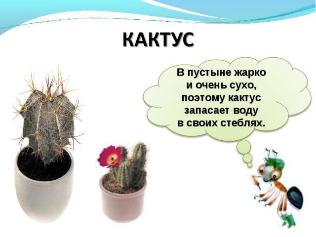 КАКТУСВпустыне жарко иочень сухо, поэтому кактус запасает воду всвоих стеблях.