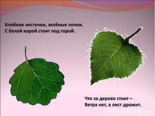 Клейкие листочки, зелёные почки.С белой корой стоит под горой.Что за дерево стои