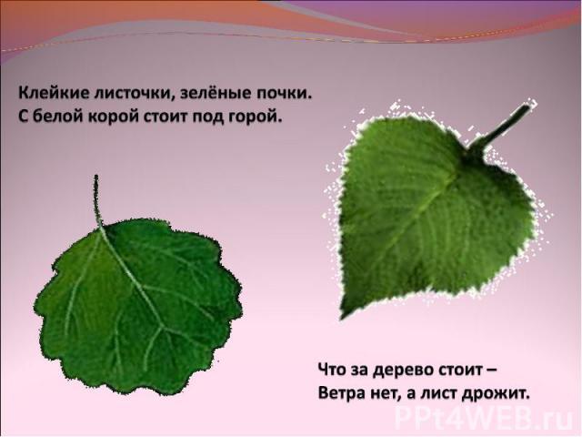 Клейкие листочки, зелёные почки.С белой корой стоит под горой.Что за дерево стоит – Ветра нет, а лист дрожит.