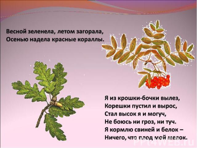 Весной зеленела, летом загорала,Осенью надела красные кораллы.Я из крошки-бочки вылез,Корешки пустил и вырос,Стал высок я и могуч,Не боюсь ни гроз, ни туч.Я кормлю свиней и белок – Ничего, что плод мой мелок.