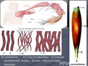 Подпишите: в1) части мышцы, в2) виды мышечной ткани. Белки, образующие мышцы