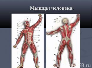 Мышцы человека.