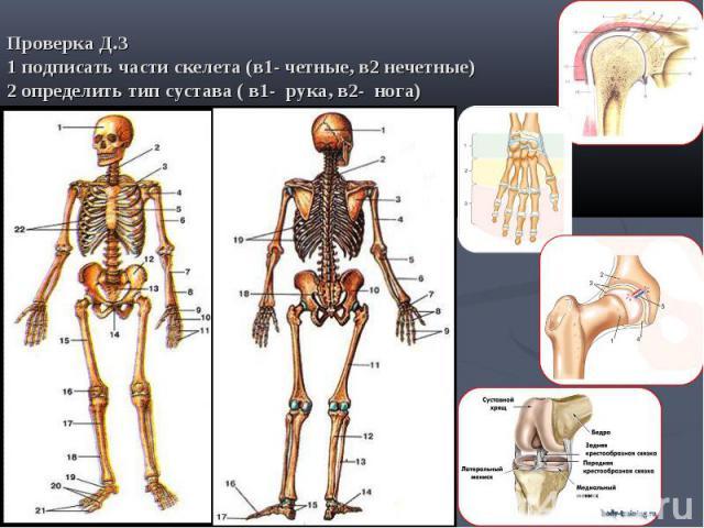 Проверка Д.З1 подписать части скелета (в1- четные, в2 нечетные) 2 определить тип сустава ( в1- рука, в2- нога)