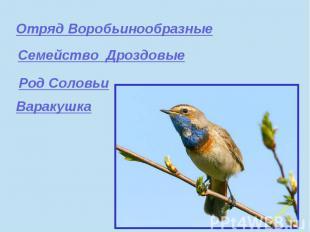 Отряд ВоробьинообразныеСемейство ДроздовыеРод СоловьиВаракушка