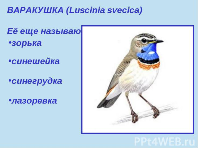 ВАРАКУШКА (Luscinia svecica) Её еще называют:зорька синешейкасинегрудкалазоревка