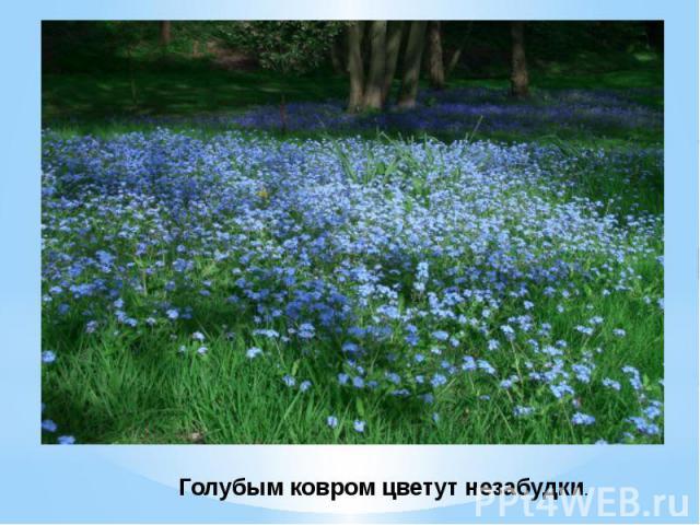 Голубым ковром цветут незабудки.