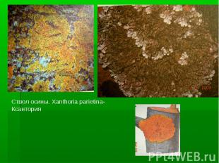 Ствол осины. Xanthoria parietina- Ксантория