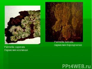 Parmelia caperataПармелия козлинаяParmelia sulcata- пармелия бороздчатая