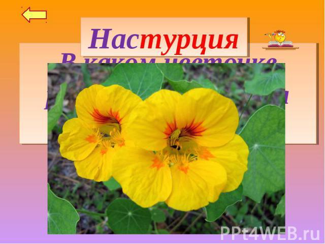 НастурцияВ каком цветочке разместилась целая страна?
