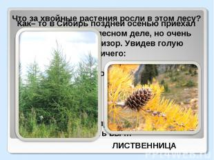 Что за хвойные растения росли в этом лесу?Как– то в Сибирь поздней осенью приеха
