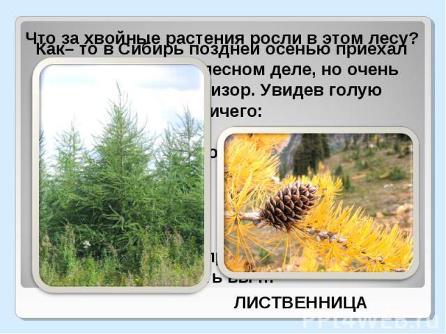 Что за хвойные растения росли в этом лесу?Как– то в Сибирь поздней осенью приехал малосведующий в лесном деле, но очень самоуверенный ревизор. Увидев голую тайгу, спросил лесничего: Это хвойный лес? Хвойный, - последовал ответ. А где хвоя? Опала. По…