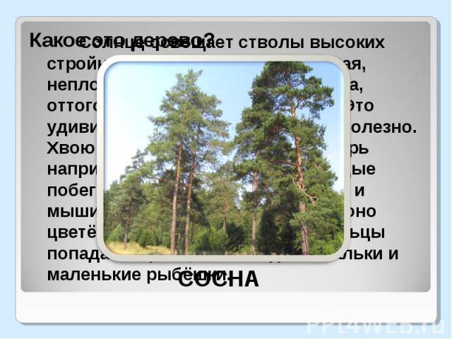 Какое это дерево?Солнце освещает стволы высоких стройных деревьев. Крона ажурная, неплотная, пропускает много света, оттого в лесу светло и радостно. Это удивительное дерево. Всё в нём полезно. Хвою клюют лесные птицы, глухарь например. Лоси едят зи…