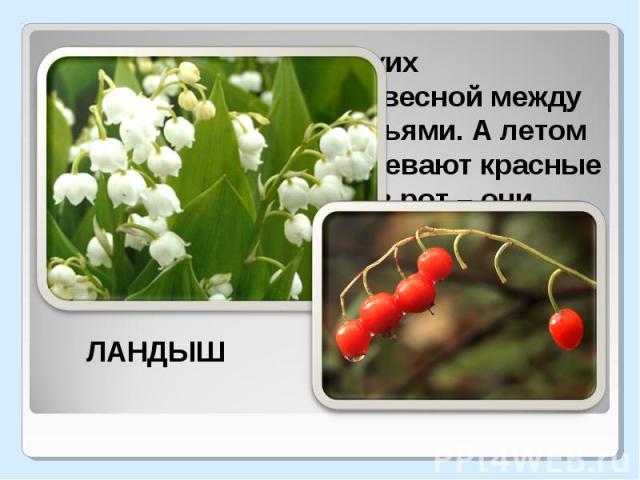 Гирлянды маленьких колокольчиков висят весной между остроконечными листьями. А летом на месте цветков созревают красные ягоды. Но не бери их в рот – они ядовиты.