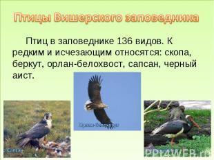 Птицы Вишерского заповедника Птиц в заповеднике 136 видов. К редким и исчезающим