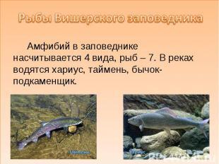 Рыбы Вишерского заповедника Амфибий в заповеднике насчитывается 4 вида, рыб – 7.